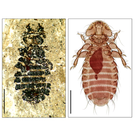 genetics-reveal-fossil-lice-evolutionary-champions_1